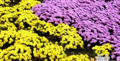 Как вырастить шикарную хризантему. Советы для начинающих цветоводов