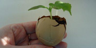 Выращивание рассады огурцов в яичной скорлупе