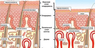 Взаимосвязь строения кожи, её функций и необходимости ухода